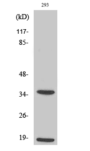 Fig.2. Western Blot analysis of 293 cells using Cleaved-Caspase-6 p18 (D179) Polyclonal Antibody diluted at 1:1000.