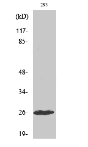 Fig. Western Blot analysis of various cells using Cleaved-C1r LC (I464) Polyclonal Antibody.