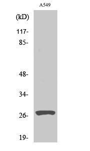 Fig. Western Blot analysis of various cells using Cleaved-Cathepsin D HC (L169) Polyclonal Antibody.