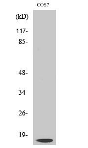 Fig. Western Blot analysis of various cells using Cleaved-Cathepsin D LC (G65) Polyclonal Antibody.