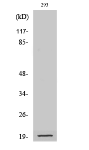 Fig. Western Blot analysis of various cells using Cleaved-Bad (D71) Polyclonal Antibody.