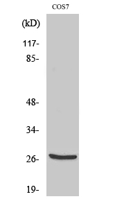 Fig. Western Blot analysis of various cells using Cleaved-Cathepsin Z (L62) Polyclonal Antibody.