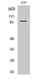 Fig. Western Blot analysis of various cells using Cleaved-COL3A1 (G1221) Polyclonal Antibody.