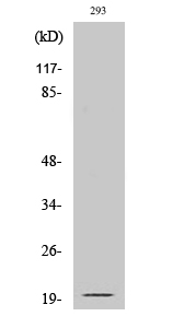 Fig. Western Blot analysis of various cells using Cleaved-Ephrin-A2 (N188) Polyclonal Antibody.