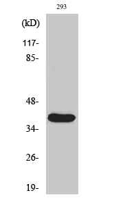 Fig. Western Blot analysis of various cells using Cleaved-MMP-23 (Y79) Polyclonal Antibody.