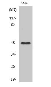 Fig. Western Blot analysis of various cells using Cleaved-MMP-27 (Y99) Polyclonal Antibody.