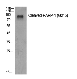 Fig.1. Western Blot analysis of various cells using Cleaved-PARP-1 (G215) Polyclonal Antibody diluted at 1:500.