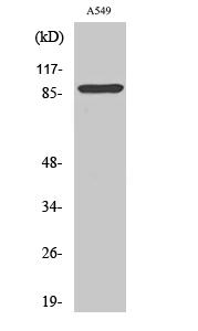 Fig. Western Blot analysis of various cells using Cleaved-Integrin αV HC (K889) Polyclonal Antibody.