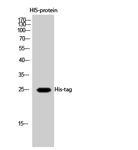Fig.2. Western Blot analysis of HIS-protein cells using His-tag Polyclonal Antibody diluted at 1:2000. Secondary Antibody  was diluted at 1:20000.