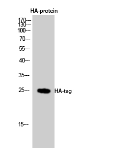 Fig.1. Western Blot analysis using HA-tag Polyclonal Antibody against HEK293 cells transfected with vector overexpressing HA tag (1) and untransfected (2). Antibody was diluted at 1:2000. Secondary Antibody  was diluted at 1:20000.