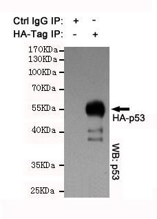 Fig.2. IP analysis of HA-tag Polyclonal Antibody.