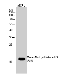Fig.1. Western Blot analysis of MCF-7, PC-12 cells using Mono-Methyl-Histone H3(K37) Polyclonal Antibody. Secondary Antibody  was diluted at 1:20000.
