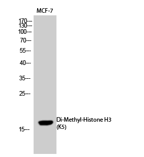 Fig.1. Western Blot analysis of MCF-7 cells using Di-Methyl-Histone H3 (K5) Polyclonal Antibody. Secondary Antibody  was diluted at 1:20000.