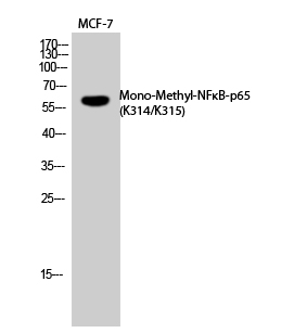 Fig. Western Blot analysis of MCF7 cells using Mono-Methyl-NFκB-p65 (K314/K315) Polyclonal Antibody. Secondary Antibody  was diluted at 1:20000.