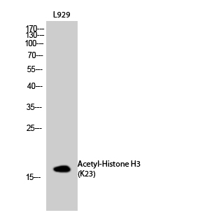 Fig.2. Western Blot analysis of L929 cells using Acetyl-Histone H3 (K23) Polyclonal Antibody diluted at 1:1000. Secondary antibody (catalog#: A21020) was diluted at 1:20000.