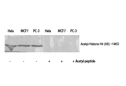 Fig.1. Western Blot analysis of various cells using Acetyl-Histone H4 (K8) Polyclonal Antibody diluted at 1:500. Secondary antibody (catalog#: A21020) was diluted at 1:20000.