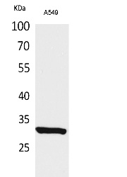 Fig.1. Western Blot analysis of A549 cells using Acetyl-ATF-5(K29) Polyclonal Antibody. Secondary Antibody was diluted at 1:20000.