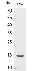 Fig.1. Western Blot analysis of A549 cells using Acetyl-Histone H2B (K126) Polyclonal Antibody. Secondary Antibody  was diluted at 1:20000.