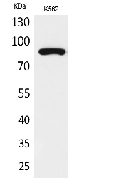 Fig.1. Western Blot analysis of K562 cells using Acetyl-HSP 90 (K292/284) Polyclonal Antibody. Secondary Antibody  was diluted at 1:20000.