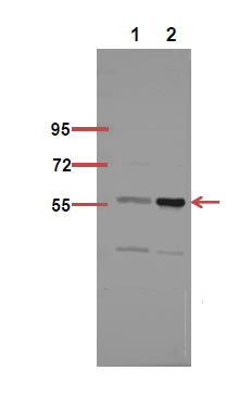 Fig.4. The picture was kindly provided by our customer,antibody was diluted at 1:500.
