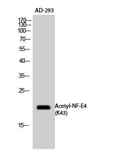Fig.2. Western Blot analysis of AD-293 cells using Acetyl-NF-E4 (K43) Polyclonal Antibody. Secondary Antibody  was diluted at 1:20000.