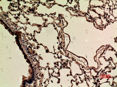 Fig.4. Immunohistochemical analysis of paraffin-embedded rat-lung, antibody was diluted at 1:100.