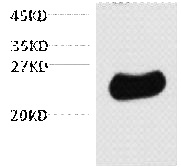 Fig. 10ug total Nicotiana tabacum lysate + primary antibody dilute at 1:3000. Secondary antibody was diluted at 1:20000.