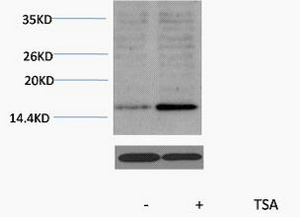 Fig. Western blot analysis of extracts from Hela cells, untreated (-) or treated, 1:2000. Secondary antibody was diluted at 1:20000.