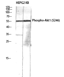 Fig.3. Western Blot analysis of HEPG2 KB using Phospho-Akt1 (S246) Polyclonal Antibody diluted at 1:1000.