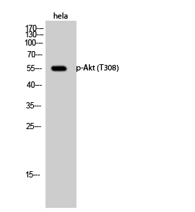Fig.2. Western Blot analysis of hela cells using Phospho-Akt (T308) Polyclonal Antibody diluted at 1:1000.