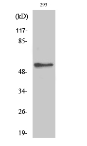 Fig.2. Western Blot analysis of 293 cells using Phospho-Akt2 (S474) Polyclonal Antibody diluted at 1:500.