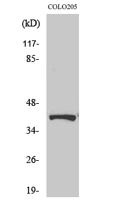 Fig. Western Blot analysis of various cells using Phospho-AMPKβ1 (S182) Polyclonal Antibody.