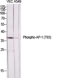 Fig.1. Western Blot analysis of various cells using Phospho-AP-1 (T93) Polyclonal Antibody diluted at 1:500.