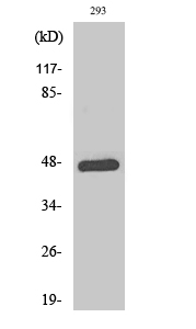 Fig.2. Western Blot analysis of 293 cells using Phospho-AP-1 (T93) Polyclonal Antibody diluted at 1:500.