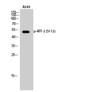 Fig.2. Western Blot analysis of A549 cells using Phospho-ATF-2 (S112) Polyclonal Antibody diluted at 1:500.
