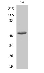 Fig. Western Blot analysis of various cells using Phospho-ATF-2 (T73) Polyclonal Antibody.
