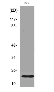 Fig. Western Blot analysis of various cells using Phospho-Bad (S112) Polyclonal Antibody.
