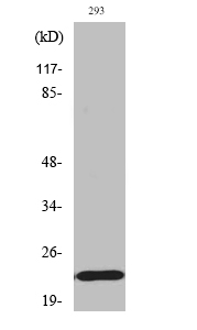Fig. Western Blot analysis of various cells using Phospho-Bad (S155) Polyclonal Antibody.
