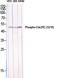 Fig.1. Western Blot analysis of various cells using Phospho-Cdc25C (S216) Polyclonal Antibody diluted at 1:1000.