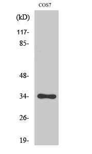 Fig.2. Western Blot analysis of COS7 cells using Phospho-Cdk1/2/3 (T14) Polyclonal Antibody diluted at 1:2000.