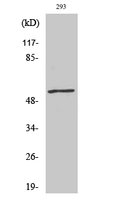 Fig.2. Western Blot analysis of 293 cells using Phospho-c-Myc (T58) Polyclonal Antibody diluted at 1:500.