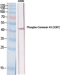 Fig.1. Western Blot analysis of various cells using Phospho-Connexin 43 (S368) Polyclonal Antibody diluted at 1:2000.
