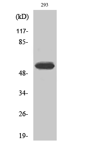 Fig.2. Western Blot analysis of 293 cells using Phospho-Cytokeratin 8 (S73) Polyclonal Antibody diluted at 1:500.