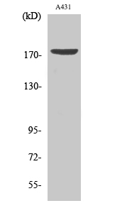 Fig.2. Western Blot analysis of A431 cells using Phospho-EGFR (Y1197) Polyclonal Antibody diluted at 1:1000.