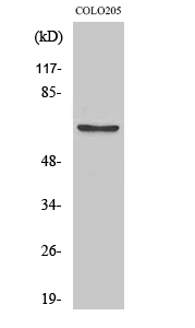 Fig. Western Blot analysis of various cells using Phospho-FoxO4 (S197) Polyclonal Antibody.