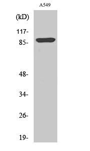 Fig. Western Blot analysis of various cells using Phospho-ICAM-1 (Y512) Polyclonal Antibody diluted at 1:500.