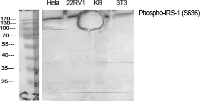 Fig.1. Western Blot analysis of various cells using Phospho-IRS-1 (S636) Polyclonal Antibody diluted at 1:2000.