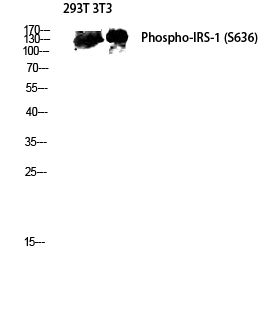 Fig.4. Western blot analysis of 293T 3T3 lysis using Phospho-IRS-1 (S636) antibody. Antibody was diluted at 1:2000.