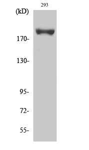 Fig. Western Blot analysis of various cells using Phospho-IRS-1 (S639) Polyclonal Antibody diluted at 1:500.