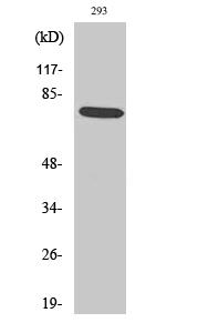 Fig.2. Western Blot analysis of 293 cells using Phospho-LIMK-1 (T508) Polyclonal Antibody diluted at 1:1000.